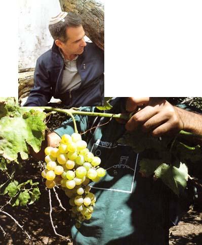 דר שיבי דרורי ואשכול ענבים